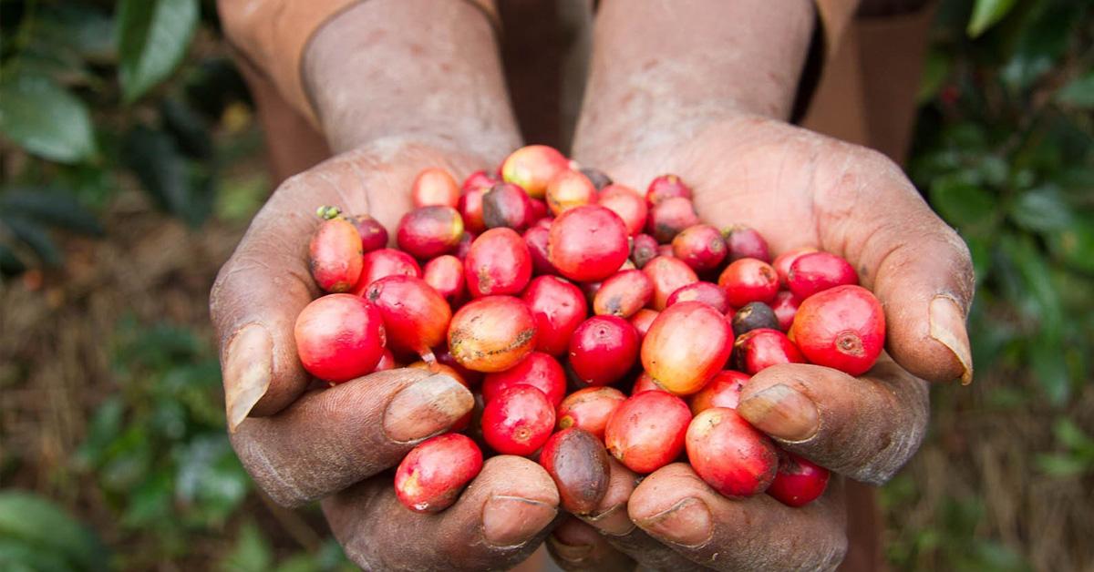 Il caffè biologico: un regalo alla natura ma soprattutto a noi stessi